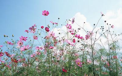 Cosmos Flowers2