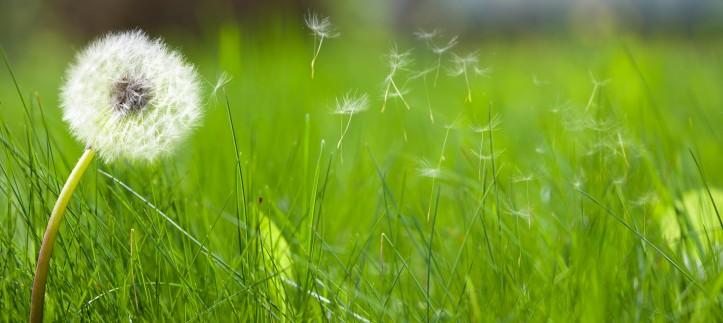 dandelion-in-seed