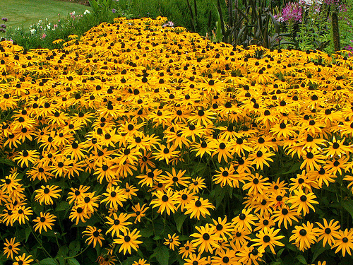black-eyed-susan-o